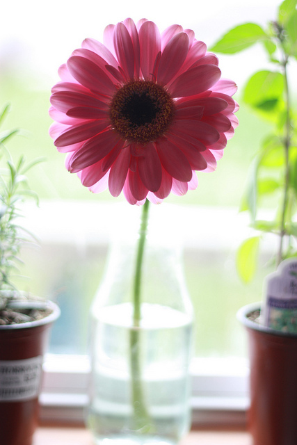 Gerbera makes me happy